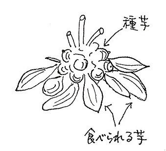 ヤーコン種芋イラスト.jpg